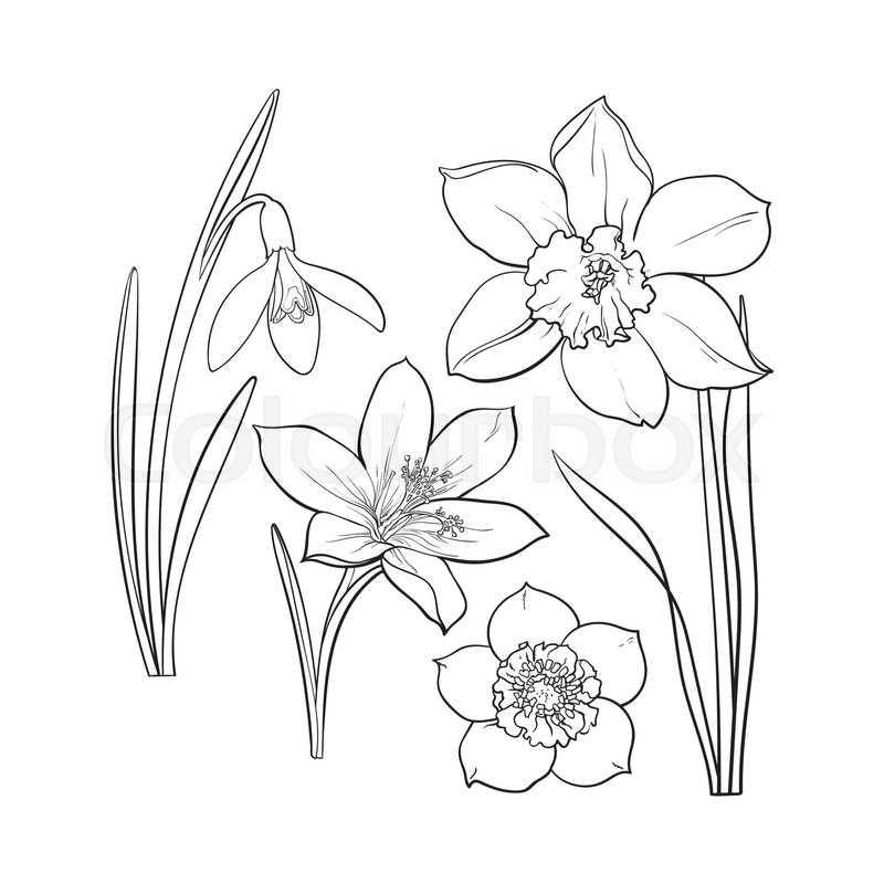 Set of summer flowers daffodil snowdrop crocus sketch vector set of summer flowers daffodil snowdrop crocus sketch vector illustration isolated on brown background realistic hand drawing of spring flowers with mightylinksfo