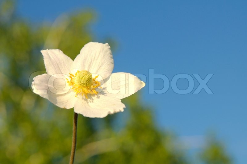 Beautiful white flower with the yellow middle on a background of the beautiful white flower with the yellow middle on a background of the dark blue sky and greens stock photo colourbox mightylinksfo