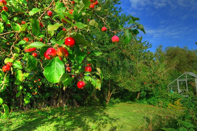 Apple tree in the garden | Stock Photo | Colourbox