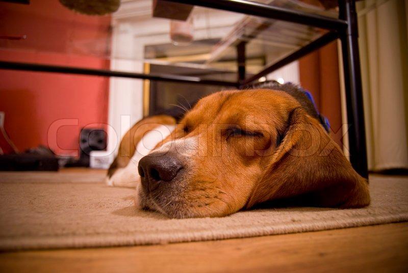 eine niedliche beagle welpen schlafen auf dem boden im wohnzimmer stockfoto colourbox. Black Bedroom Furniture Sets. Home Design Ideas