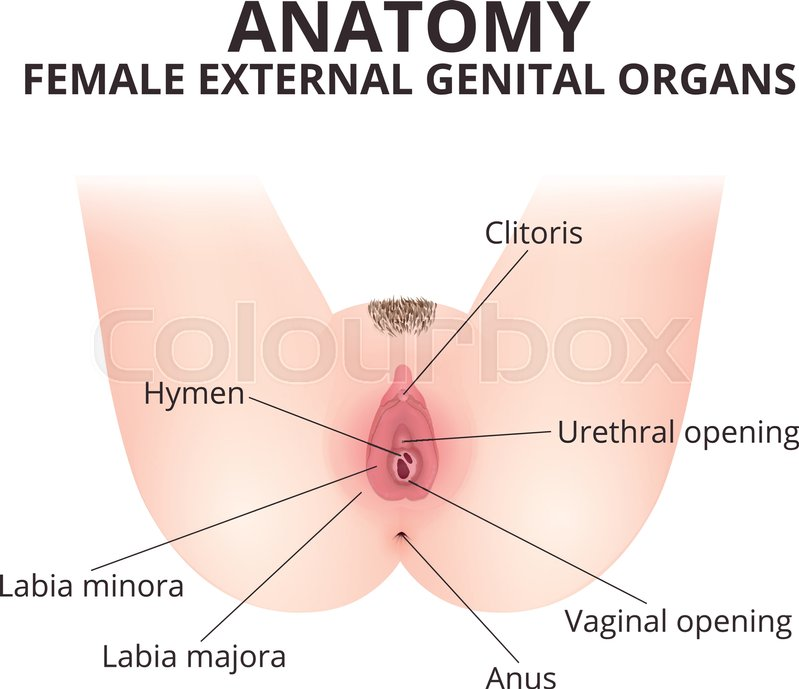 The Structure Of The Female External Genitalia Stock Vector