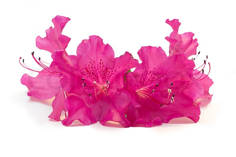 Pink Azalea Flowers On A White Stock Photo Colourbox