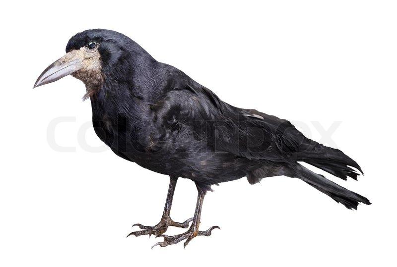 Schwarze Krähe auf weißem Hintergrund isoliert | Stockfoto | Colourbox