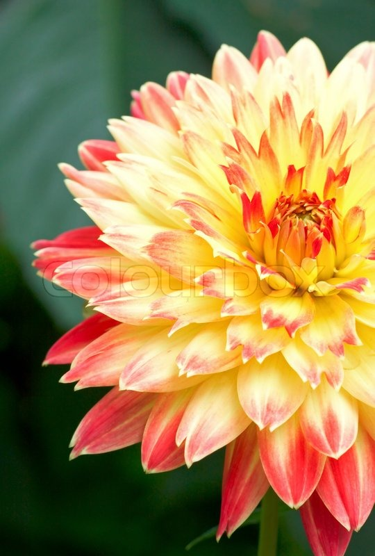 Close Up Red Yellow Dahlia Flower Like Stock Image Colourbox