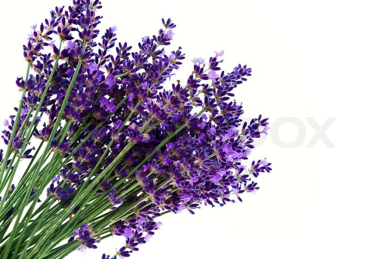 buy stock photos of lavender  colourbox, Natural flower