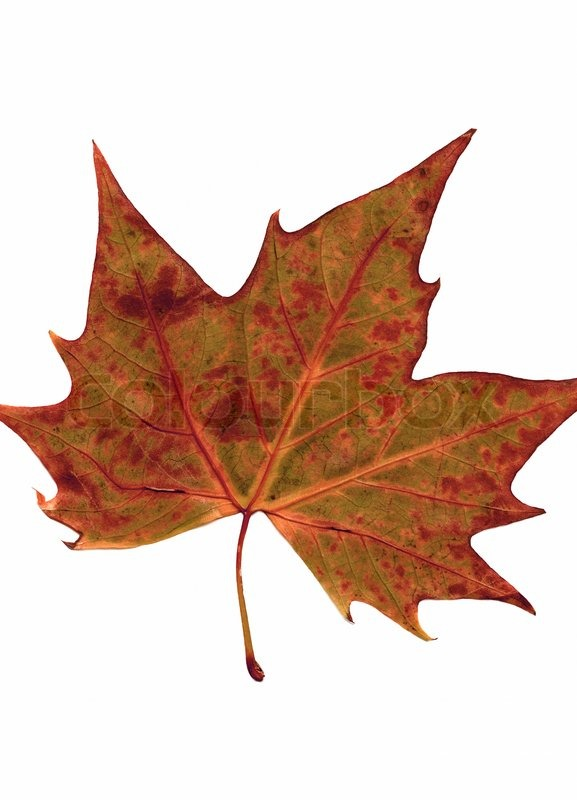 Autumn dry leaf of red oak tree ... | Stock image | Colourbox