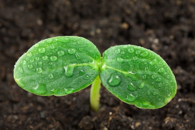 Small Plant Of Cucumber Stock Photo Colourbox
