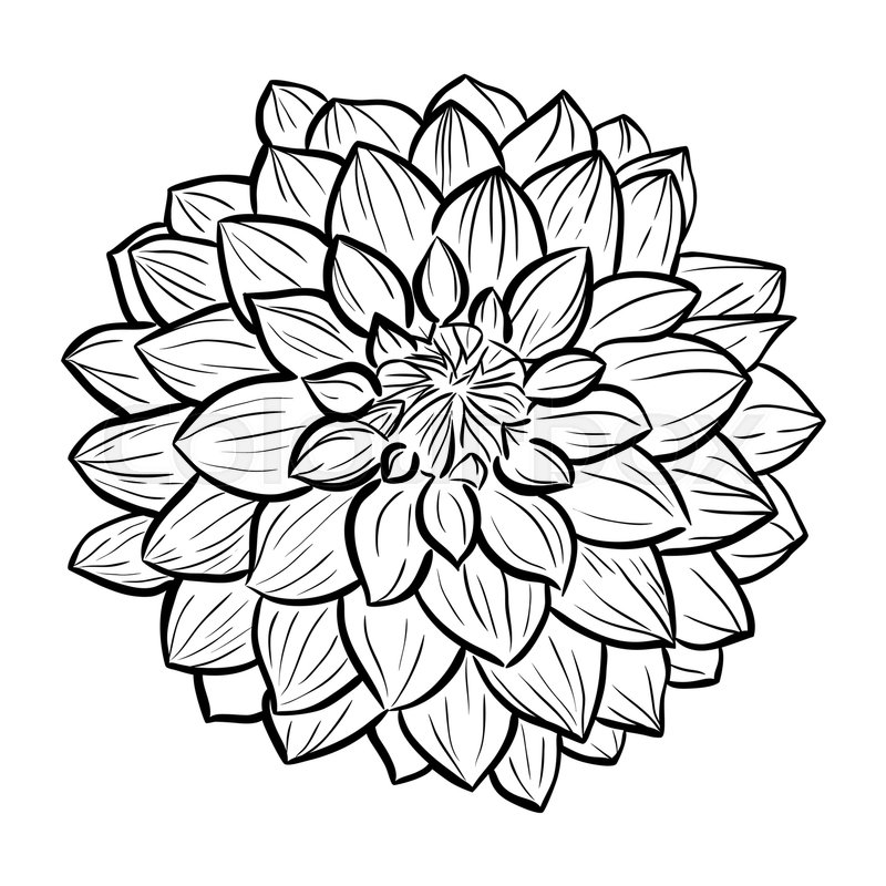 Aster Flower Line Drawing : Aster flower hand drawn contour lines and strokes stock