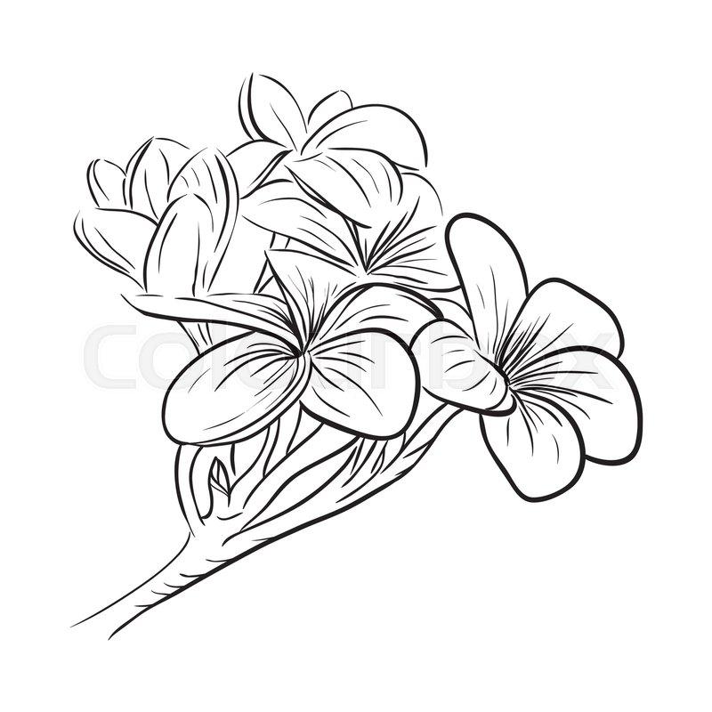 ab95ac1af Plumeria frangipani tropical flower, ... | Stock vector | Colourbox