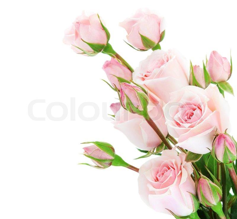Frische Rosa Rosen Grenze Isoliert Auf Wei 223 Em Hintergrund