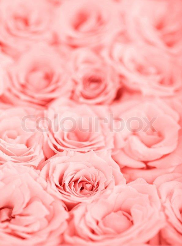 rosa frischen rosen hintergrund mit selektiven fokus. Black Bedroom Furniture Sets. Home Design Ideas