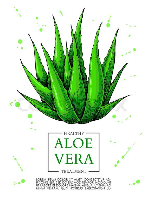 Aloe vera vector illustration. Hand drawn artistic isolated object ...