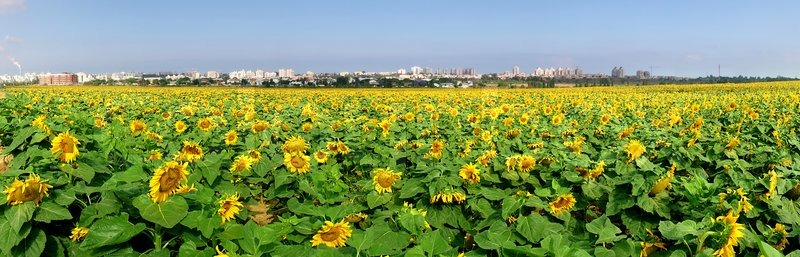 Panoramic view on rural field with yellow sunflowers in israel stock