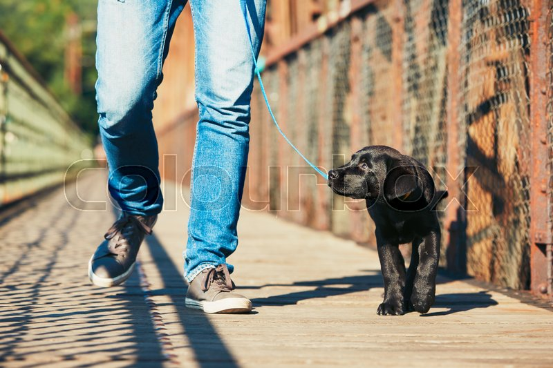 Morning walk with dog (black labrador retriever). Young man is training his puppy walking on the leash, stock photo