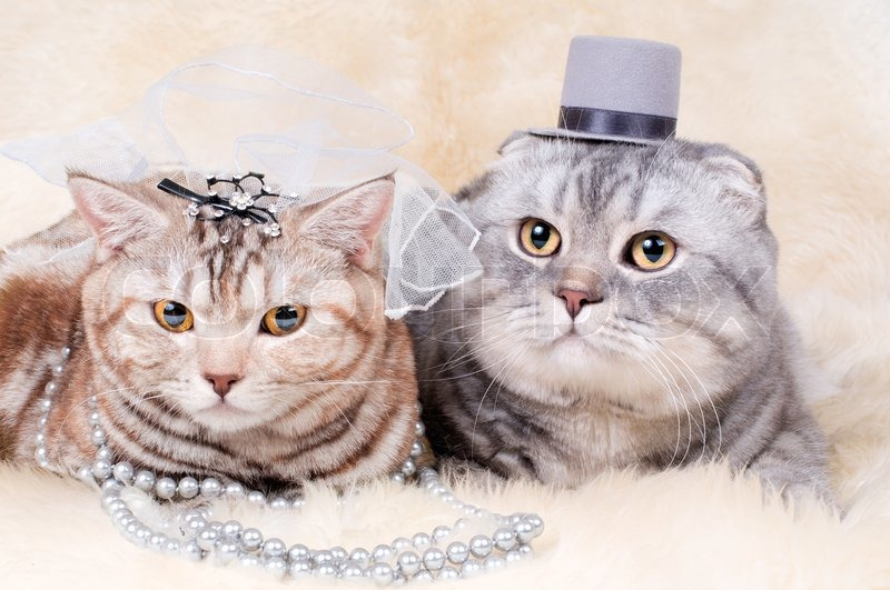 beautiful adult cat wedding couple breed scottish