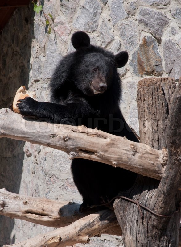 Stock image of 'Big Ussuri black bear eating the bread'