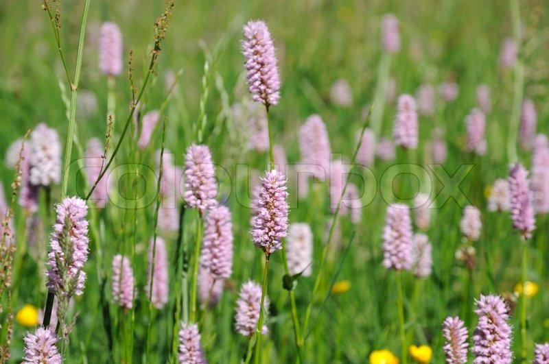 Purple clover flowers in the field stock photo colourbox mightylinksfo