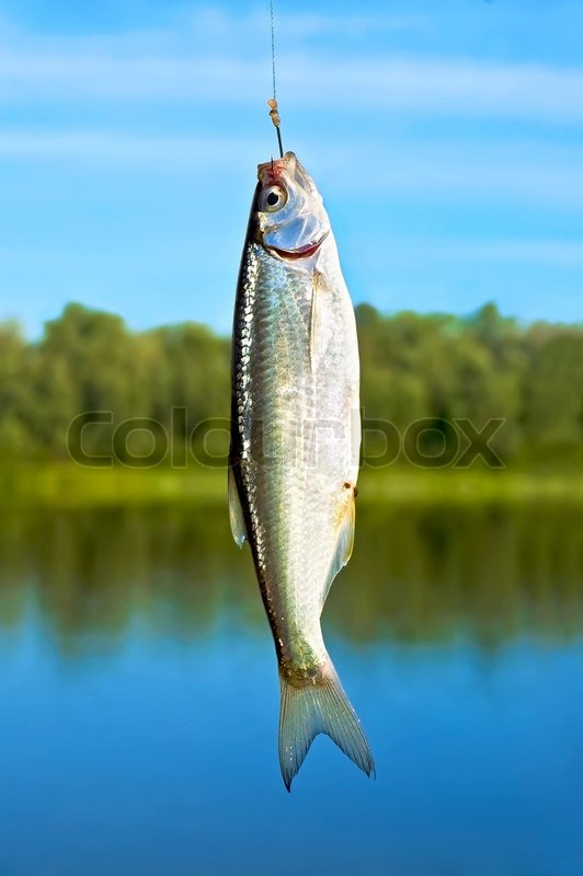 2483597-496777-silver-small-fish-on-a-hook-against-the-blue-sky-rivers-and-green-trees.jpg