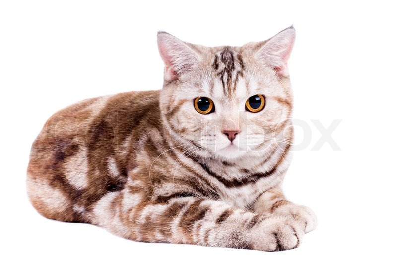 adult cat image search results