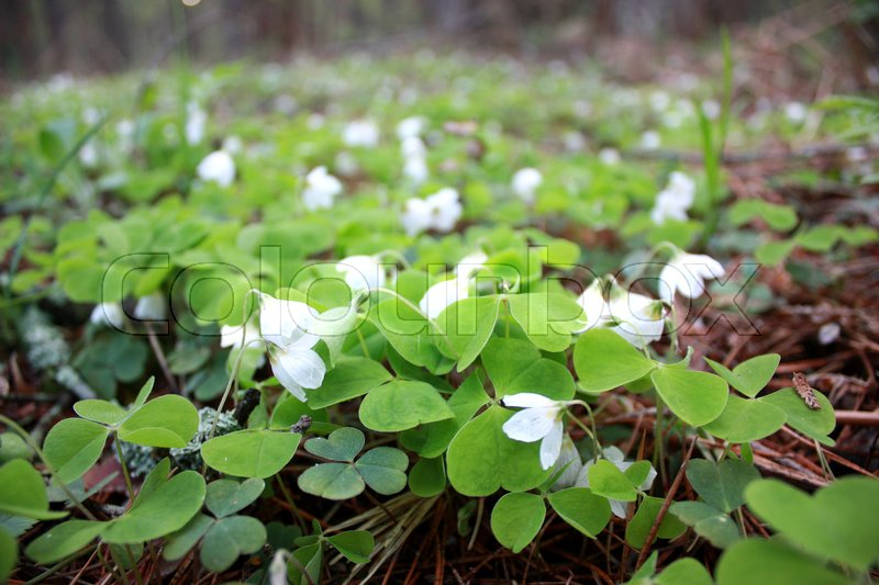 Oxalis acetosella spring flower forest glade with small white buds oxalis acetosella spring flower forest glade with small white buds stock photo colourbox mightylinksfo