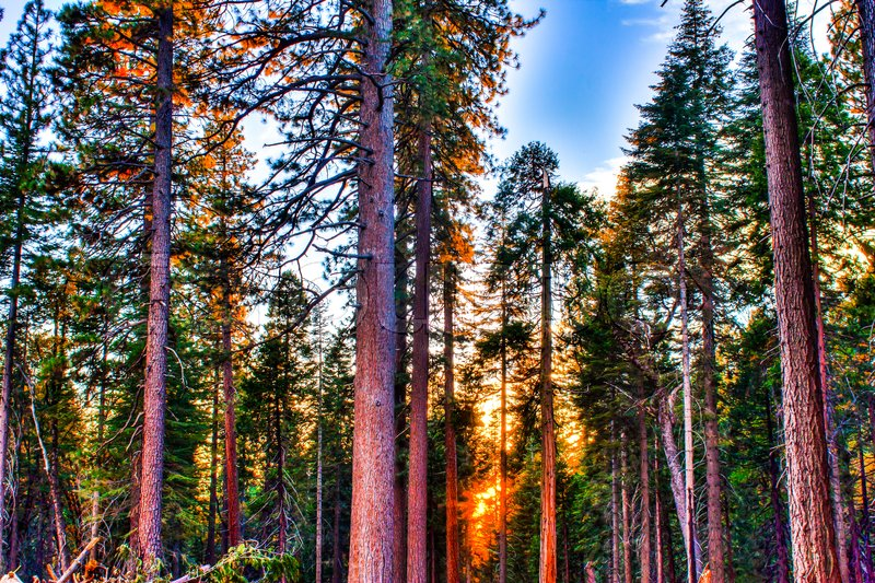 Tall trees in the Forest With Blue Sky in the Background, stock photo