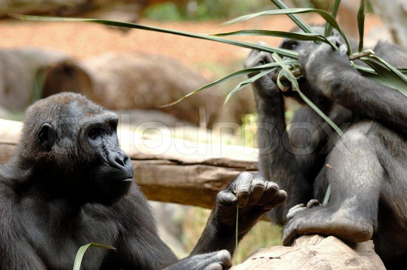 ape versucht ameisen mit einer langen gras stroh zu finden w hrend die anderen in den r cken. Black Bedroom Furniture Sets. Home Design Ideas