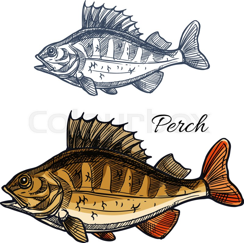 Dorable Perch Fish Anatomy Crest Anatomy And Physiology Biology