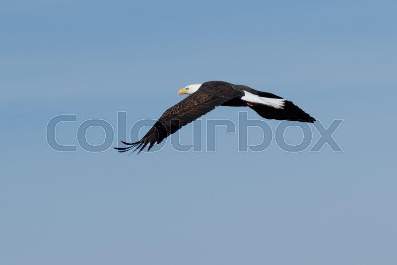 Bald Eagle Soaring In Flight Southeast Alaska Tong National Forest Inside Page Spring