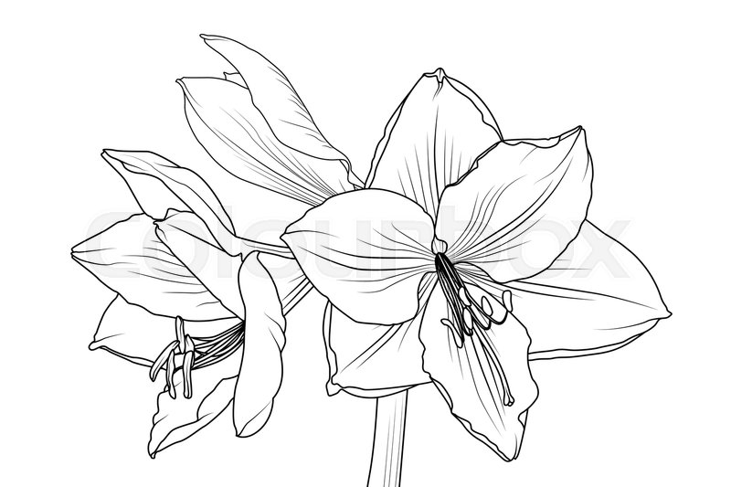 Amaryllis hippeastrum lilly flower isolated black and white outline amaryllis hippeastrum lilly flower isolated black and white outline sketch drawing closeup macro front view spring floral bouquet foliage element mightylinksfo