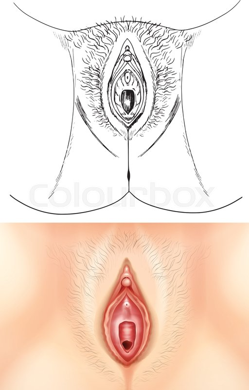 Diagram Showing Female Vagina Illustration Stock Vector Colourbox