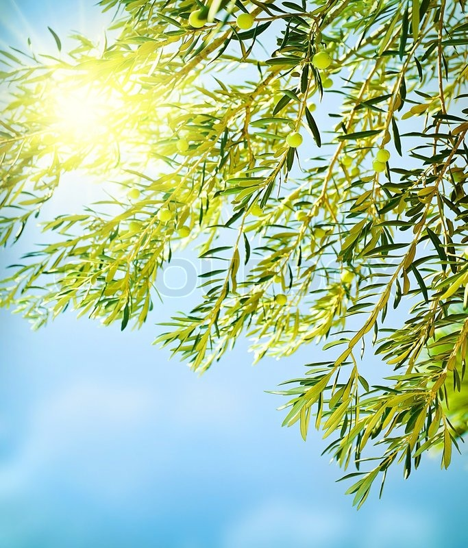 Fresh olive tree border, natural ... | Stock Photo | Colourbox