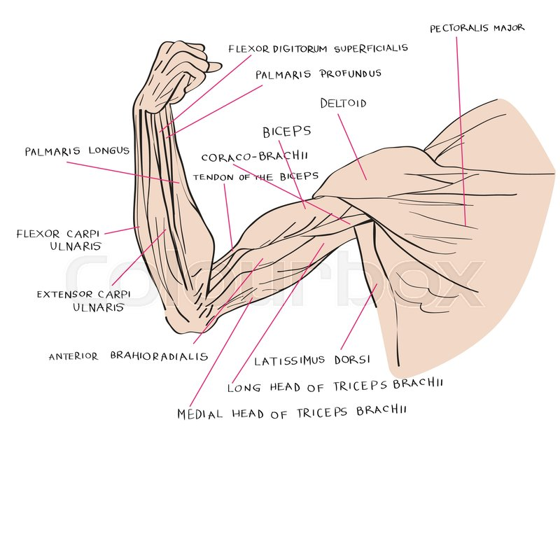 Hand drawn illustration of the arm muscles, artistic anatomy graphic ...