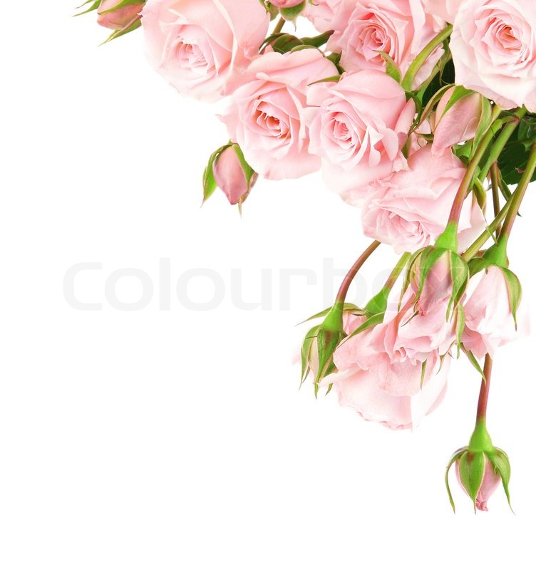 Fresh pink roses border isolated on white background ...