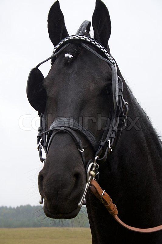 fang schwarzes pferd im geschirr mit scheuklappen auf den augen stockfoto colourbox. Black Bedroom Furniture Sets. Home Design Ideas