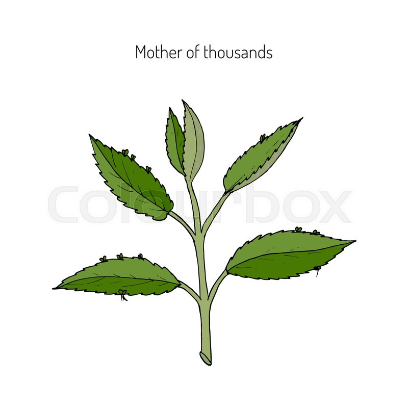 Bryophyllum daigremontianum, also called Mother of Thousands ... on plant care, plant life in mexico, plant called string of hearts, plant called crown of thorns, plant mother of the world,