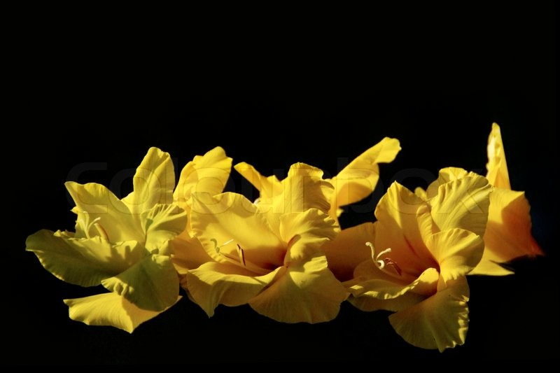 Beautiful yellow flower of gladiolus on black background stock beautiful yellow flower of gladiolus on black background stock photo colourbox mightylinksfo