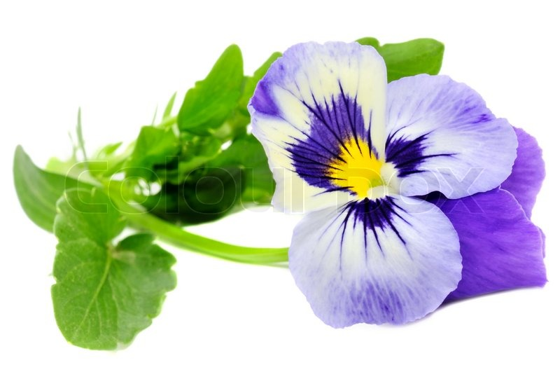 Pansy violet isolated on white background stock photo colourbox mightylinksfo