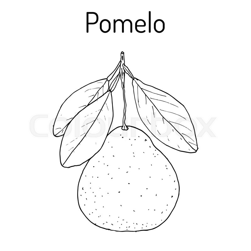 Pomelo Citrus Maxima Or Pamplemousse Jabong Shaddock