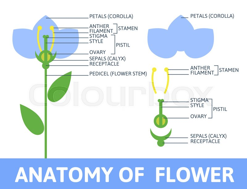 Infographics anatomy of a flower. Structures in cross section. In ...