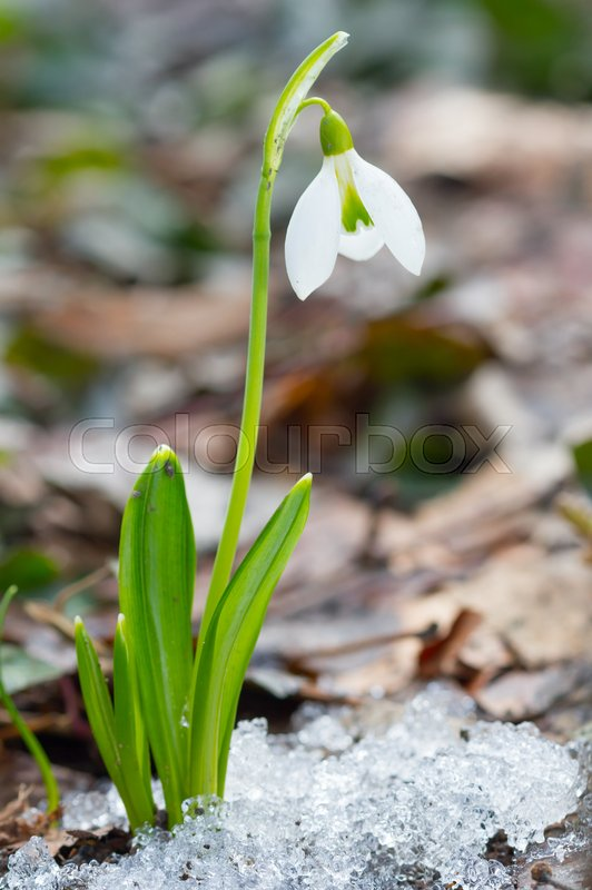 The first spring flowers white snowdrops in the forest stock photo the first spring flowers white snowdrops in the forest stock photo colourbox mightylinksfo