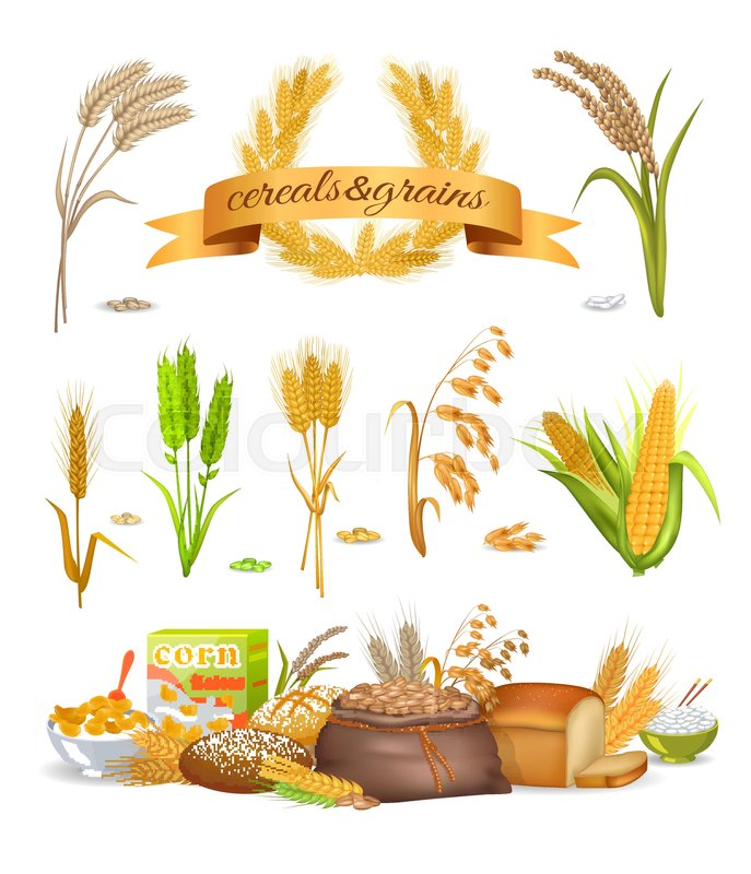 Set of cereals and grains on white background. Vector illustration ...