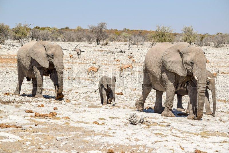 Sunny arid savannah scenery including a walking family of african bush elephants seen in Namibia, stock photo