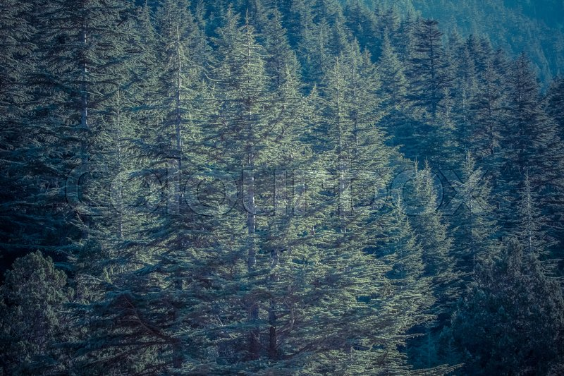 Lebanese cedar tree the forest in the mountains, Turkey, stock photo