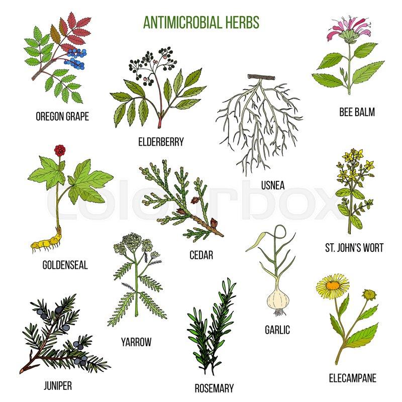 Antimicrobial Herbs Hand Drawn Vector Set Of Medicinal