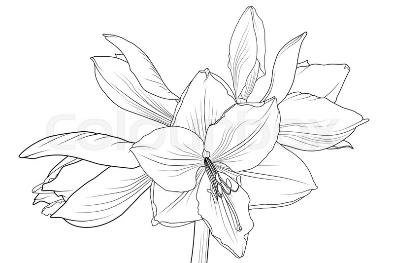 lilly amaryllis hippeastrum blooming flower object isolated  black and white outline sketch hand