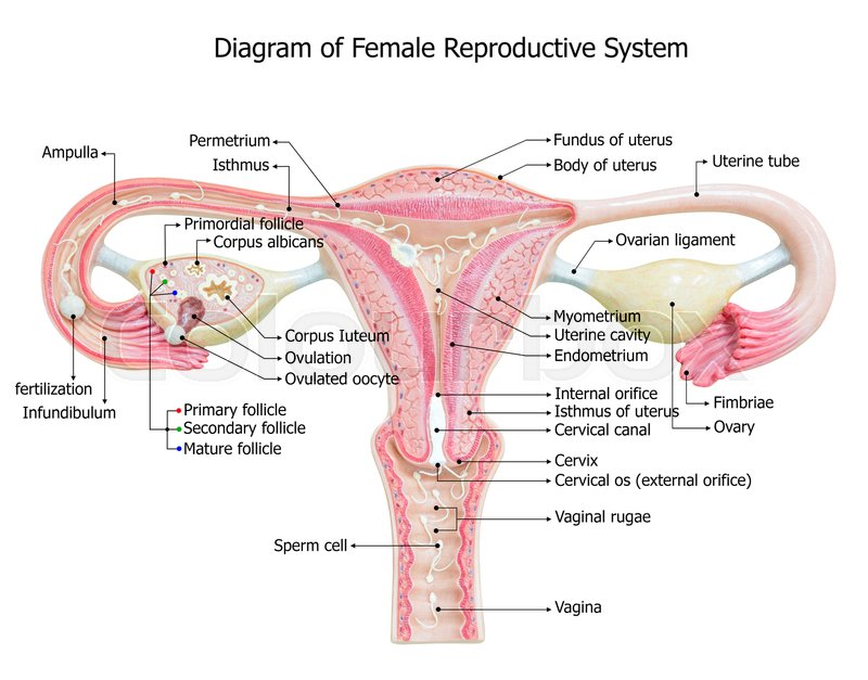 stock image of 'female reproductive system, image diagram'