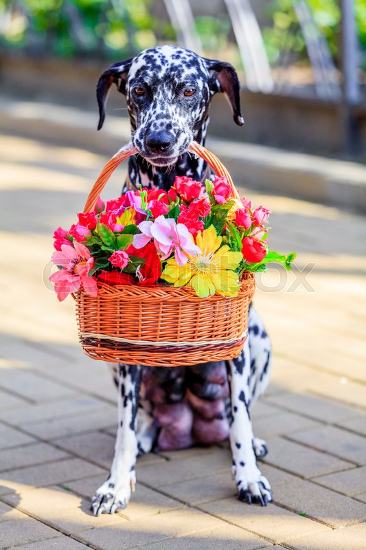 Stock image of 'Dalmatian dog. dog holding a flower in the mouth'
