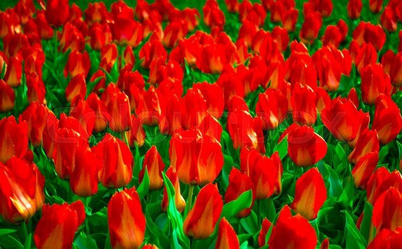 Field of tulips. Field of red tulips. Red tulips. tulips, stock photo