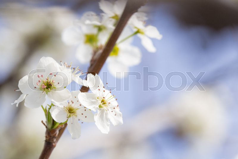 Macro of Early Spring Tree Blossoms with Narrow Depth of Field, stock photo