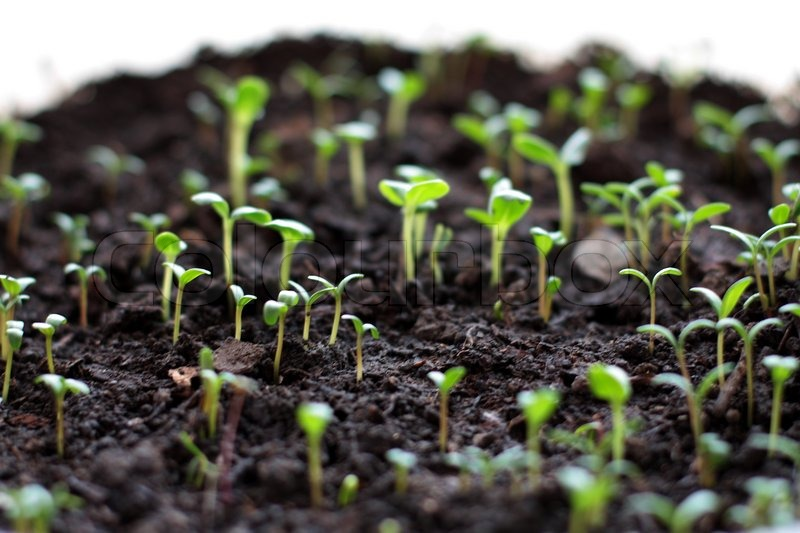 The little green sprouts growing from soil stock photo for Soil in english